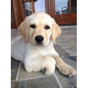 Labrador Cachorros Negros Y Paja