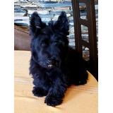 Escotish Terrier Hijos Y Nietos De Campeones Con Pedigree