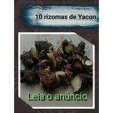 10 Rizomas/mudas De Batata Yacon-alta Produtividade