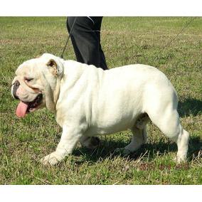 Bulldog Ingles, Macho Excelente Con F.c.a.