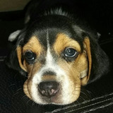 Cachorra Beagles Tricolor Mes Y Medio De Edad Vacunada Y Des