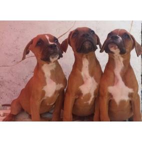 Hermosos Cachorros Boxer