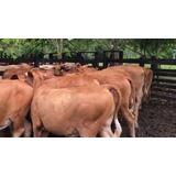 Vacas Simental