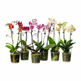 Orquídeas Phalaenopsis Exótica Várias Cores Mudas Promoção