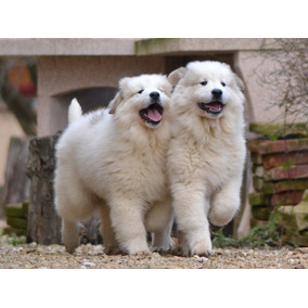 Cachorro Protector - Perro De Montaña De Los Pirineos
