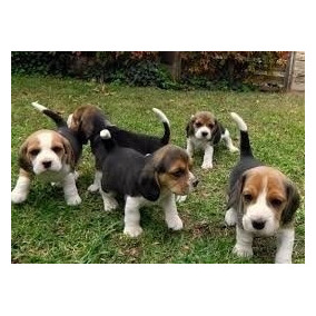 Cachorritos Beagle.