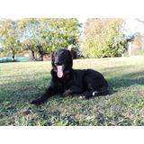 Adopción Cachorro Border Collie Galgo Mix Leer Condiciones