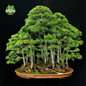 Semilla Bonsai Juniper