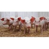 Combo Manuales Cría De Cerdos, Gallinas Ponedoras Y Conejos