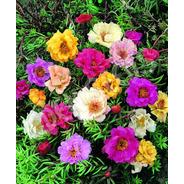 200 Sementes De Onze Horas Dobrada Sortida Importada Flor