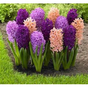 50 Sementes Flor Hyacinthus Orientalis Jacinto Sortida!!
