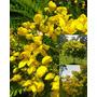 Muda Canafístula - Árvore Ornamental E Sombra