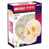 Modelo De Anatomia P/ Ensino Crânio 1/12 Esqueleto Caveira
