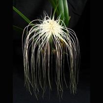 Orquistudio Orquídea Bulbophyllum Medusae Adulta Exótica