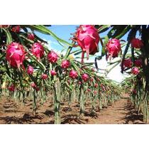 4 Estacas De Pitaya Rosa Para Mudas / Cacto Fruta Exótica