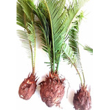Mudas De Palmeira Cica, 10 Até 20 Cm ( Jardim E Decoração)
