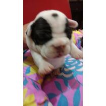 Bulldog Frances Vaquitas-f.c.a-envios A Todo El Pais