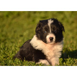 Cachorros Border Collie Puros