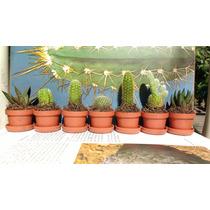 Cactus, Suculentas Miniatura (el Mejor Precio)