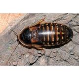 Cucarachas Blaptica Dubia X 50 - Alimento Vivo Para Mascotas