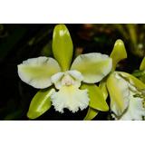 Orquídea Cattleya Intermedia Aquini Alba X Gutatta