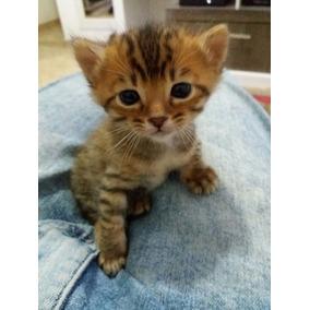 Gato Bengal- Filhotes Fêmea Sem Castrar