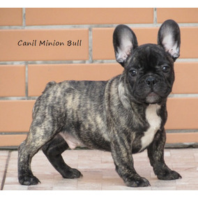 Bulldog Frances Macho Blue Gen , Filhote Top Pedigree Cbkc