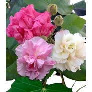 Hibiscus Mutabilis Hibisco Sementes Rosa Louca