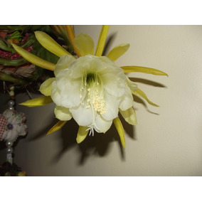 Kit De 06 Mudas De Cacto Orquídea 06 Cores Epiphyllum Belli