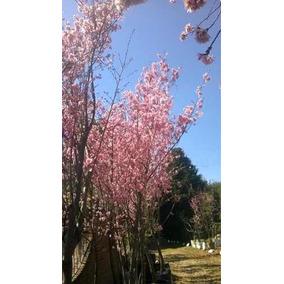 Sakura Flor Rosa ( Arbol Cerezo ) 1,60 M Injerto Cereza