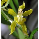 Combo 6 Especies De Orquideas Nativas De Misiones