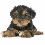 Yorkshire Terrier 100% Pura C Pedigree Mini Micro Baby Femea
