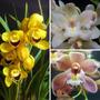 Kit 3 Mudas De Orquídeas Cymbidium Adultas Cores Variadas