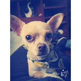 Busco Novio Para Mi Perra Chihuahua