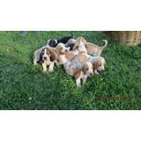 Perritos Basset Hound ( Hush Puppies)