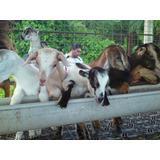 Rebaño-cazar-lote De Cabras Mestizas Lecheras