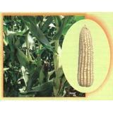 60mil Semillas Maiz Hibrido 515 Para Grano De Temporal