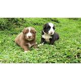 Vendo Cachorros Exoticos Border Collie Merli Negro Rojo