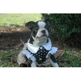 Boston Terrier Fêmea (preto E Branco)