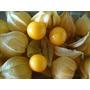 Sementes De Physalis Angulata - Apenas R$3,99