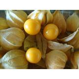 Sementes De Physalis Angulata - Apenas R$3,00
