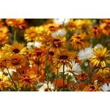 500 Sementes De Flor Venidio Laranja P/ Mudas Vasos E Jardim