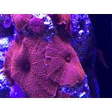 Coral Hongo Rojo Acuario Marino