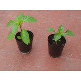 Plantines De Pimiento Calahorra, Organicos