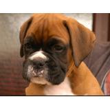 Boxer Cachorros Excelente Calidad Padres Importados