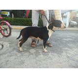 Bull Terrier Ingles Con Pedigree Internacional Hembra Adulta