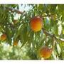 Durazno De 1,50 M. Con Frutos-jardinyparque
