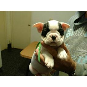 Bulldog Francés Cachorros Vaquita