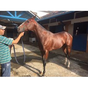 Cavalo Garanhão Inteiro Puro Sangue Ingles - Psi