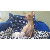 Cachorros Chihuahuas Blancos Y Cremas